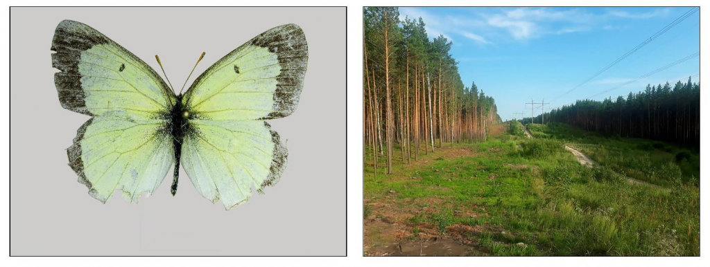Colias palaeno, male, vicinity of Ozerki village, Talmenskiy district, Altai region, Russia Credit: Nazar A. Shapoval License: CC-BY 4.0